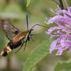 Snowberry Clearwing Moth_8105
