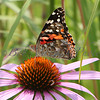 Painted Lady_7783