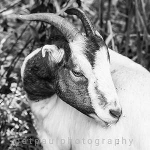 Goats-124