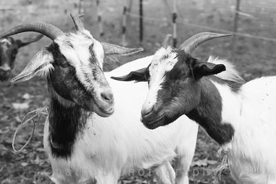 Goats-104