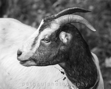 Goats-47