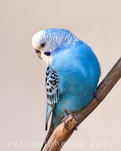 Budgie Beauty