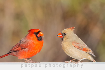 A Male and Female Cardinal Couple Enjoying a Meal Together