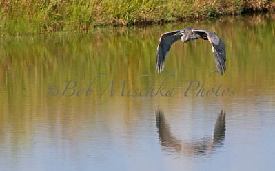 Blue Heron flying_0941