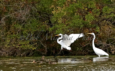 10 20 15 Two egrets Trippe lake_7364