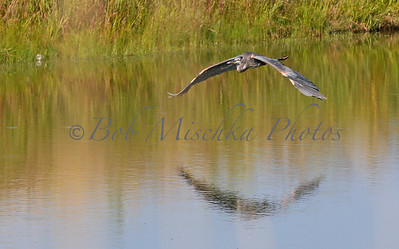 Blue Heron flying_0942