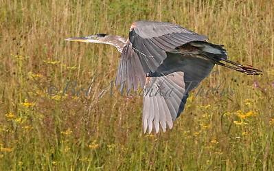 Blue Heron flying_0946