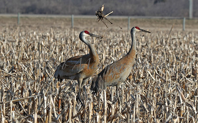 03 31 16 two cranes_9504