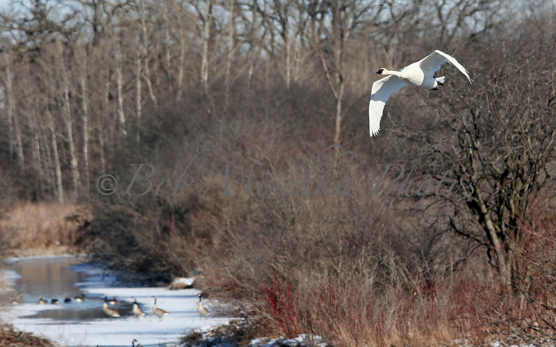 04 04 16 Flying Egret with geese_8859