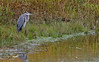 11 20 15 Blue Heron in grass_2076