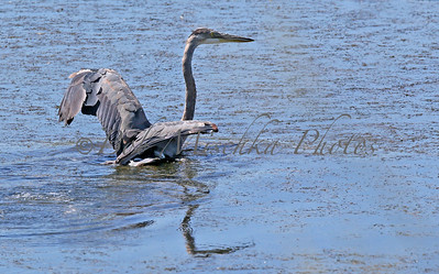 08 24 15 Blue Heron wings out_0683