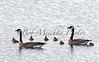 Baby Geese_7273