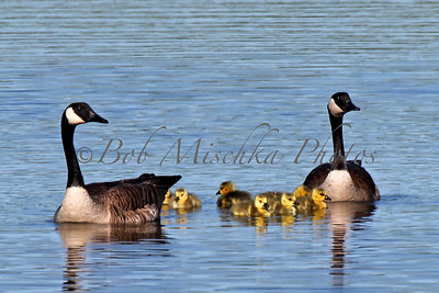 Baby Geese_6964