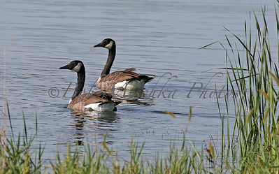 09-08-14 two geese_2478