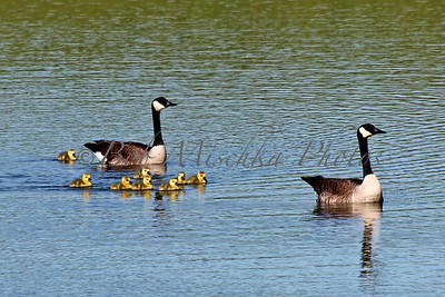 Baby Geese_6945