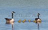 05 02 16 Baby Geese_6968