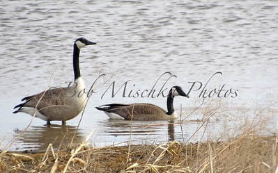 2 Geese_0420
