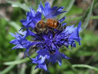 Chimayo Bee
