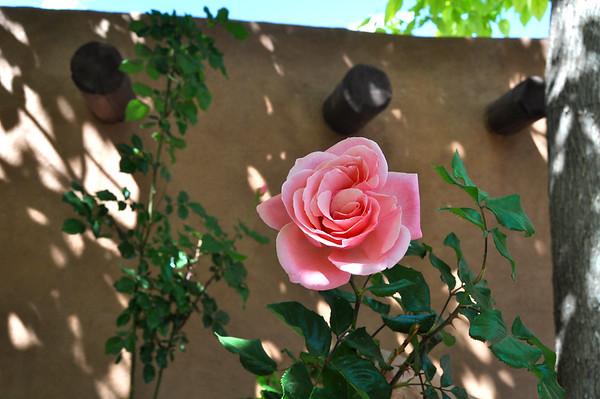 Chimayo rose