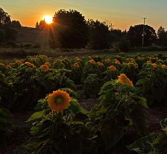 Sunflower sunset ab