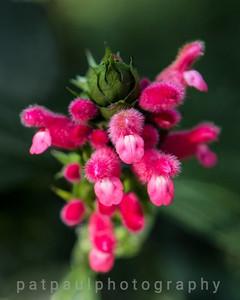 Bolivian Sage