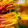 Reflections of Blanket Flowers
