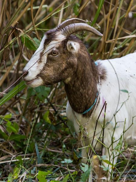 Goats-236