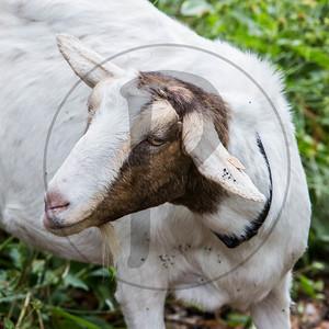Goats-38