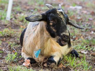 Goats-220
