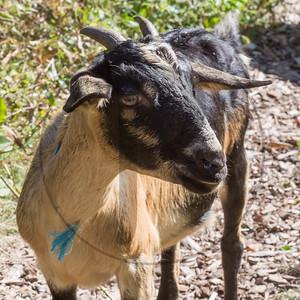 Goats-145