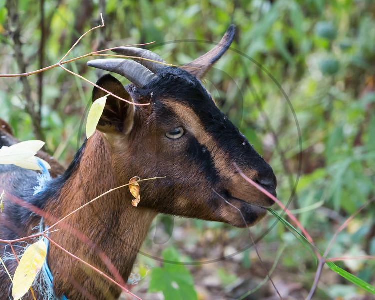 Goats-102