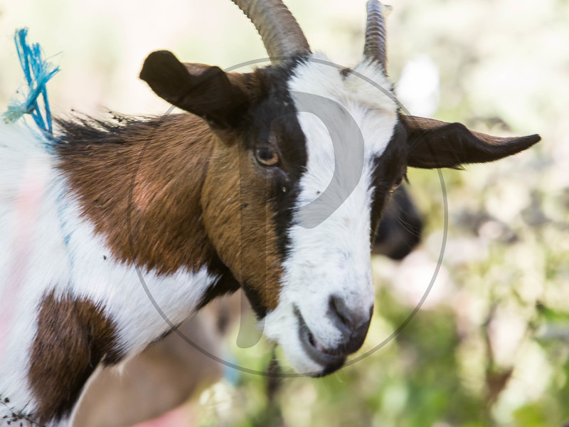 Goats-205