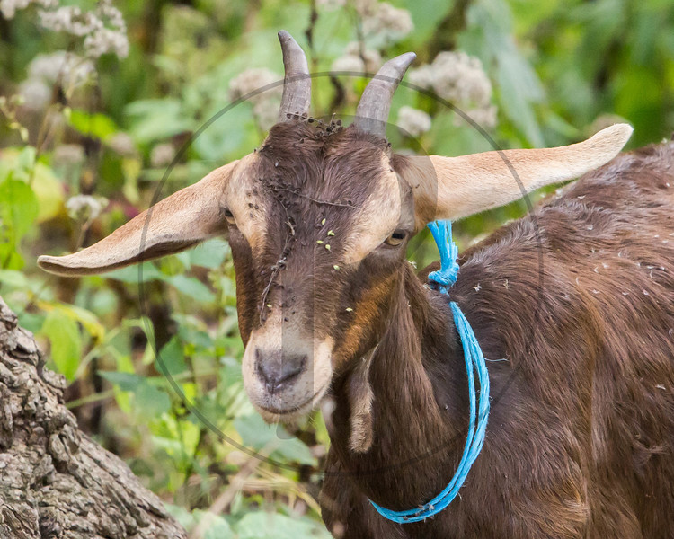 Goats-63