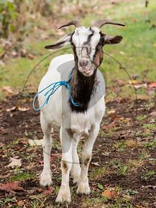 Goats-92