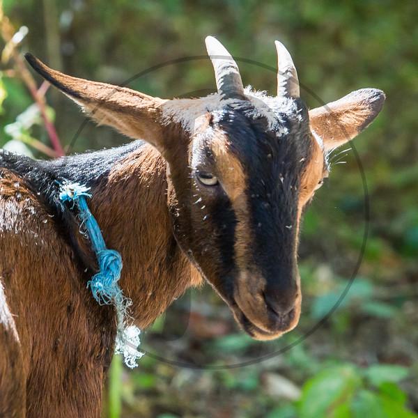 Goats-194
