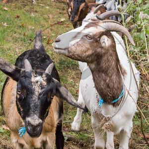 Goats-107