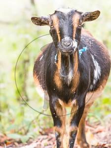Goats-121