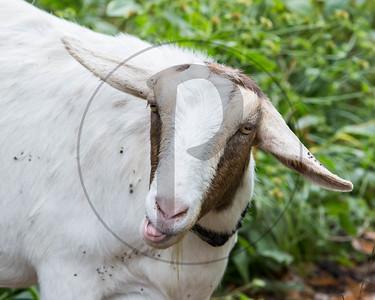 Goats-37