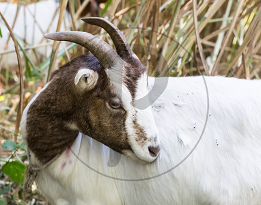 Goats-133