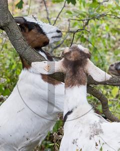 Goats-55