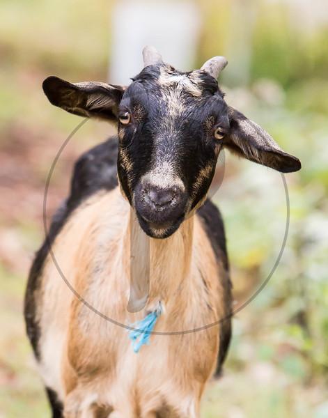 Goats-115