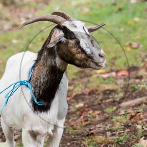 Goats-93