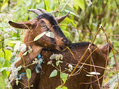 Goats-103