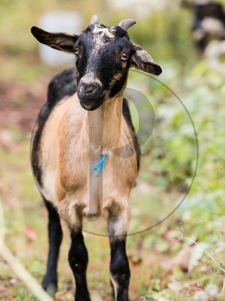 Goats-117