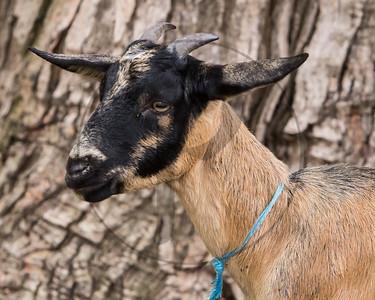 Goats-11