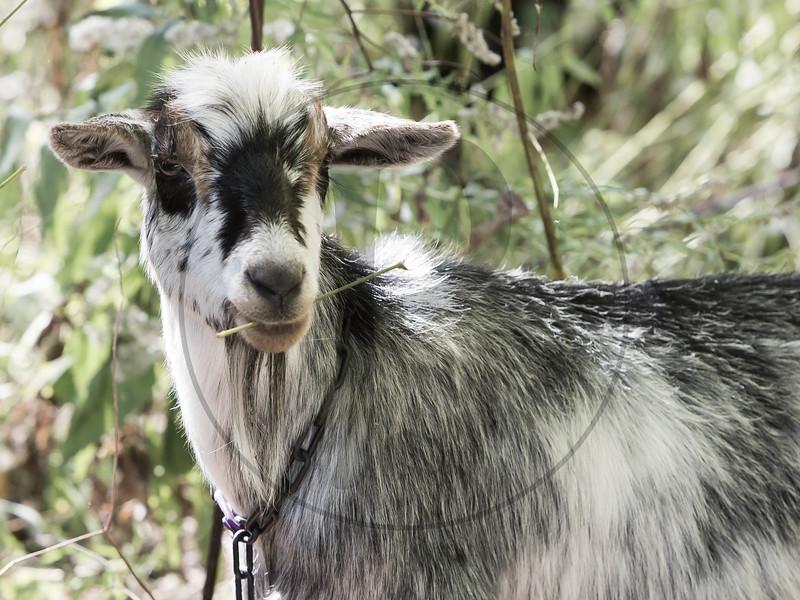 Goats-243