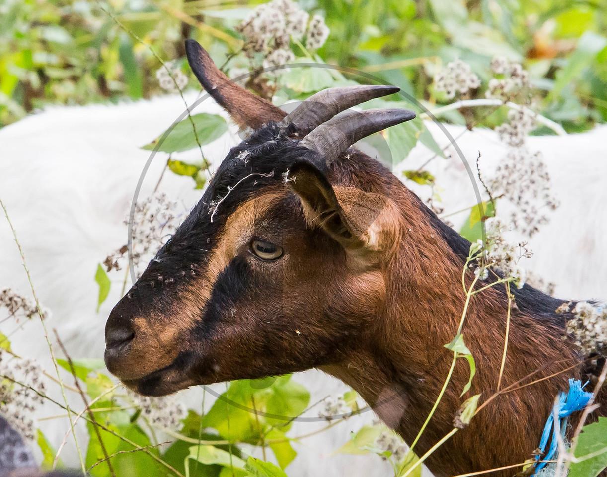 Goats-58