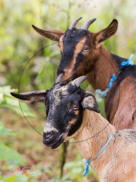 Goats-15