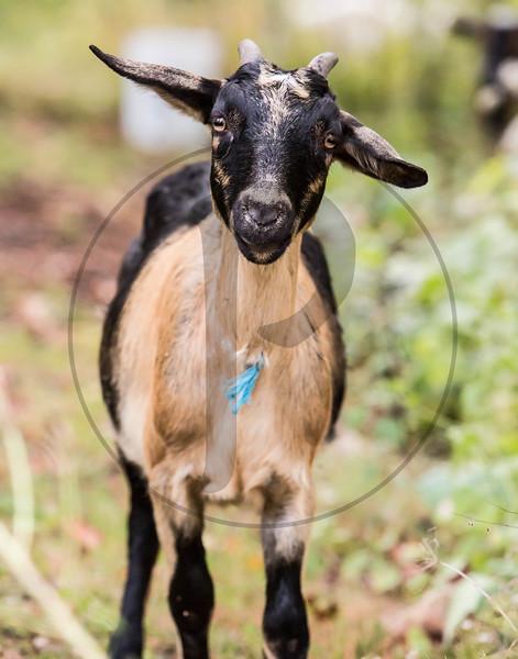 Goats-116