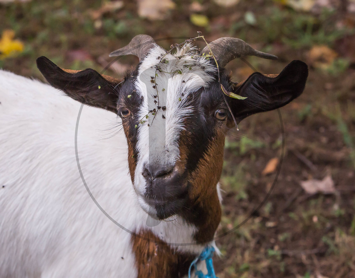 Goats-29